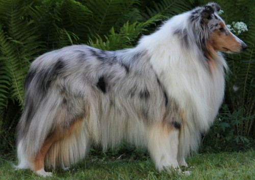 Pitkäkarvainen collie, Woolmill's N'Dion Vintage Lily
